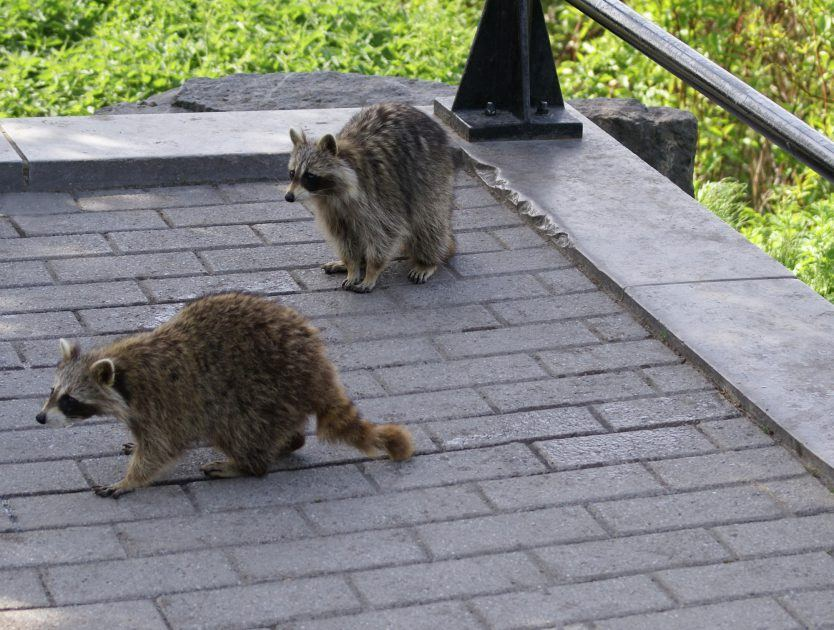 A Band of Raccons Attack a Lazy  Home Cat